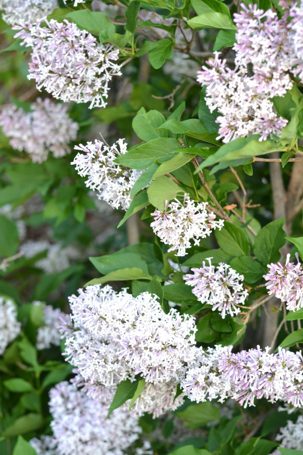 large lilac bush in full bloom ready for harvesting