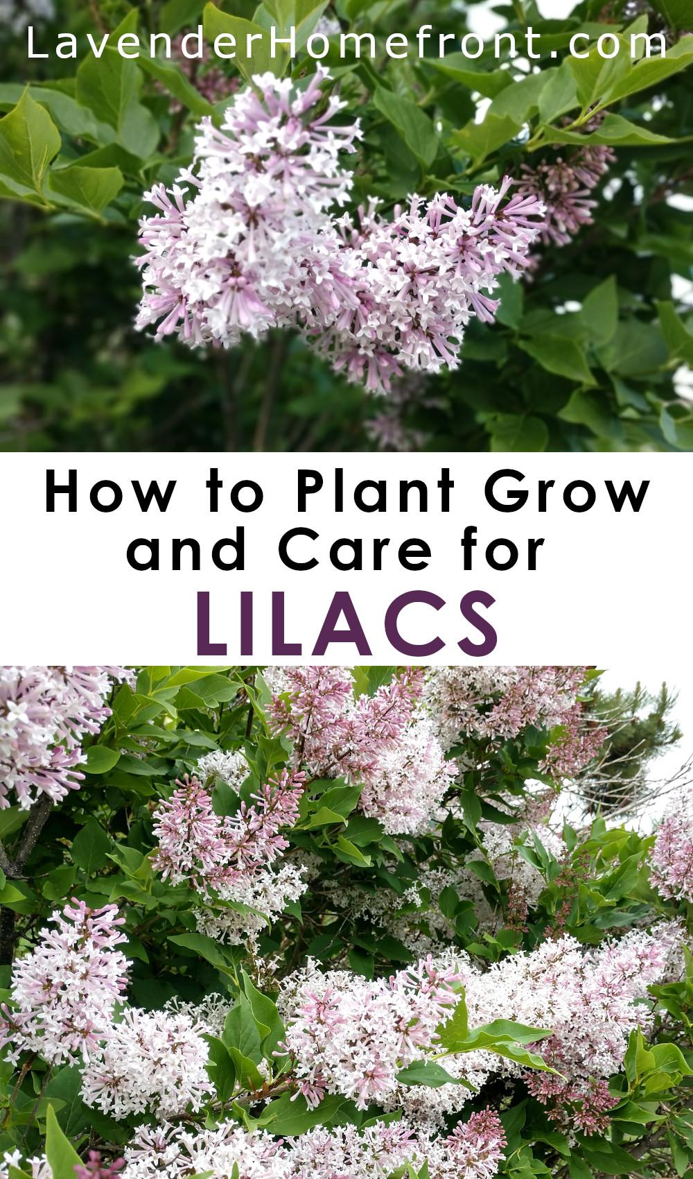 Growing lilacs pinnable image