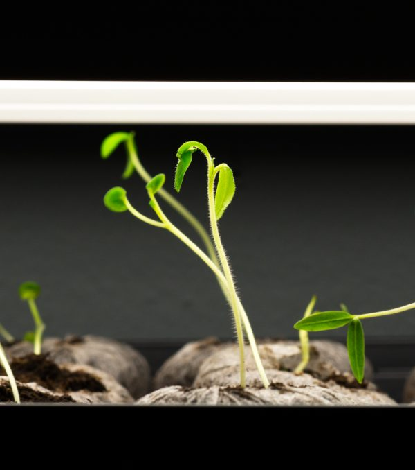 seedlings growing under a grow light, closely to the light.