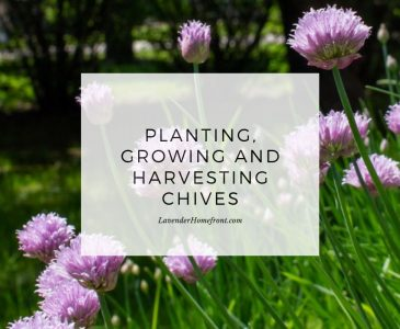 How to plant, grow and harvest chives main image with text overlay.