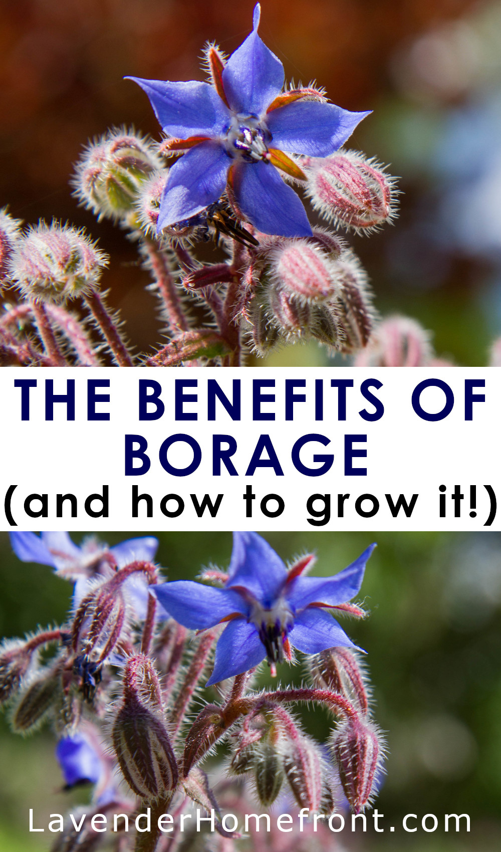 How to grow and why you should grow borage pinnable image with text overlay.