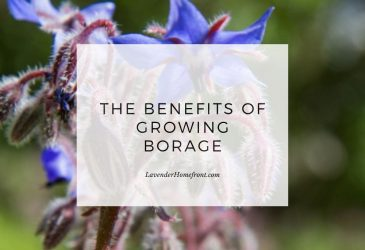 the benefits of growing borage and how to grow it main image with text overlay.