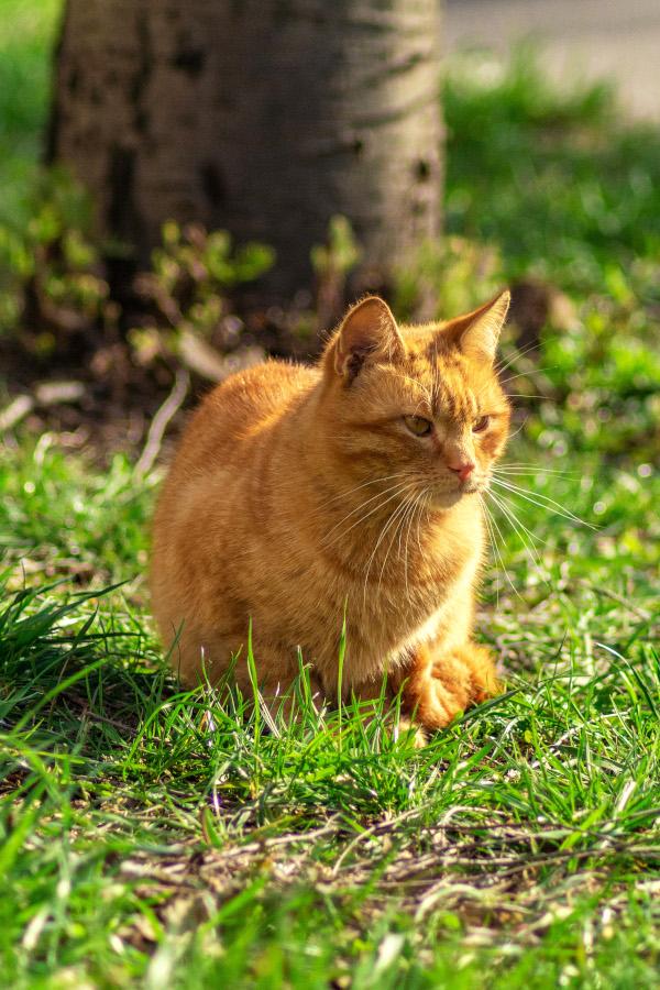 orange cat outside in the garden.