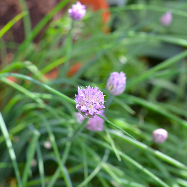 growing and harvesting chives in the garden.