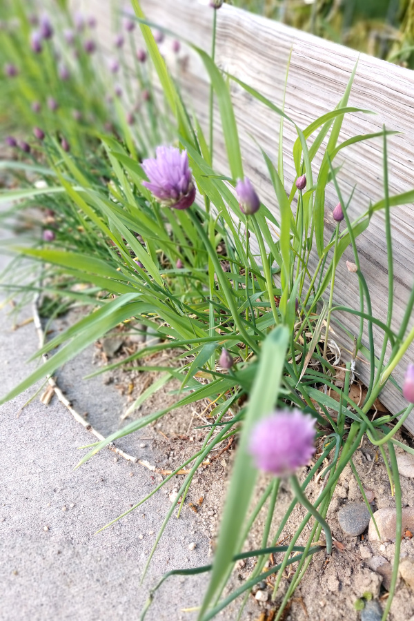 Chives growing on a fencepost.