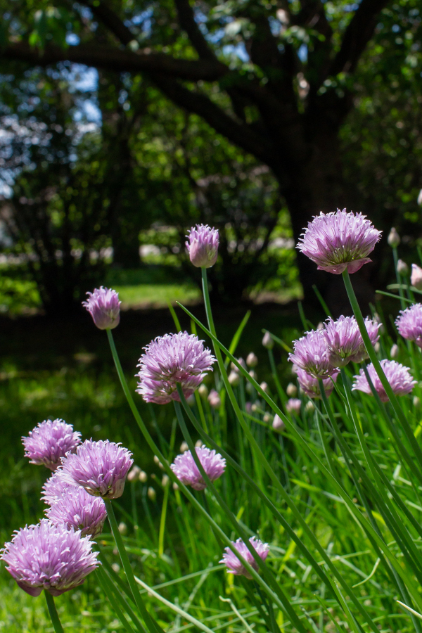 flowering chive herb in the garden.