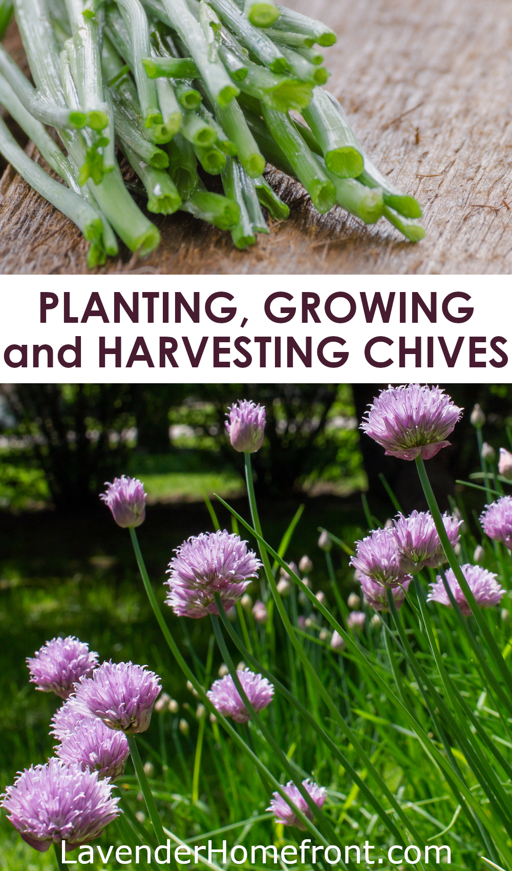 How to plant, grow and harvest chives pinnable image