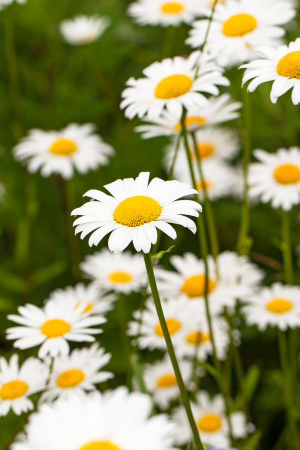 Close-up of chamomile growing in a garden.