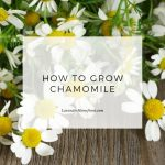 how to grow chamomile main image with text overlay.