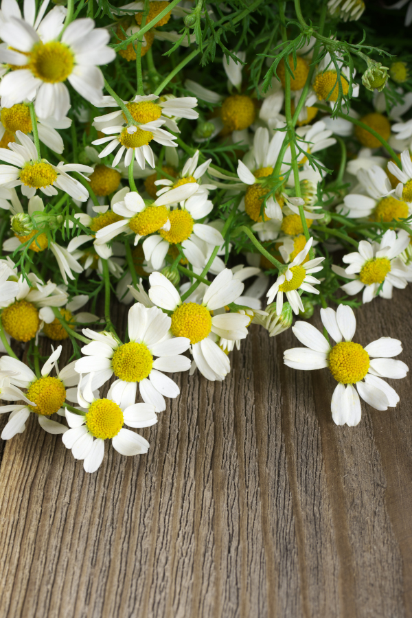 chamomile flowers harvesting and sitting on a table.