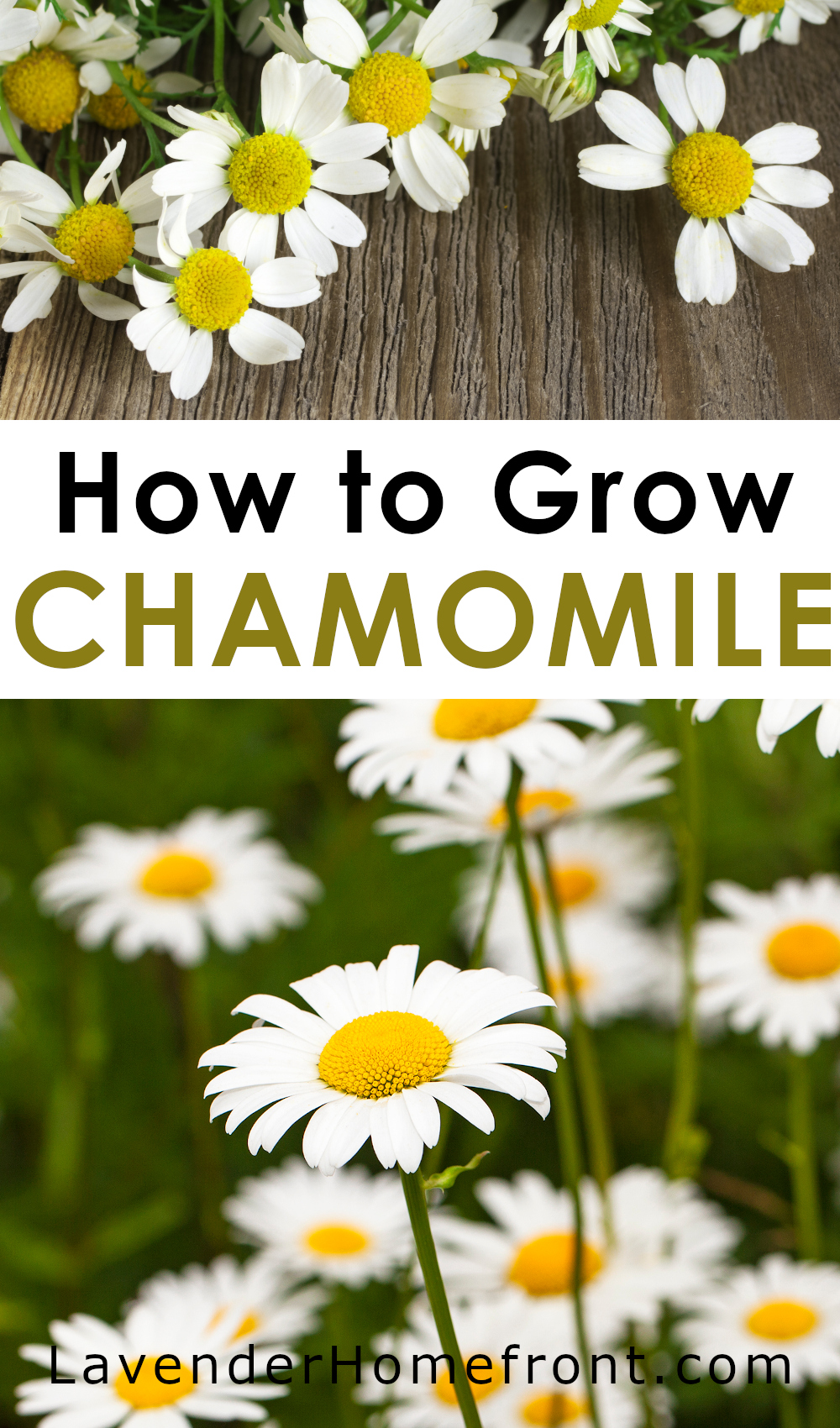 How to grow the herb chamomile pinnable image with text overlay.