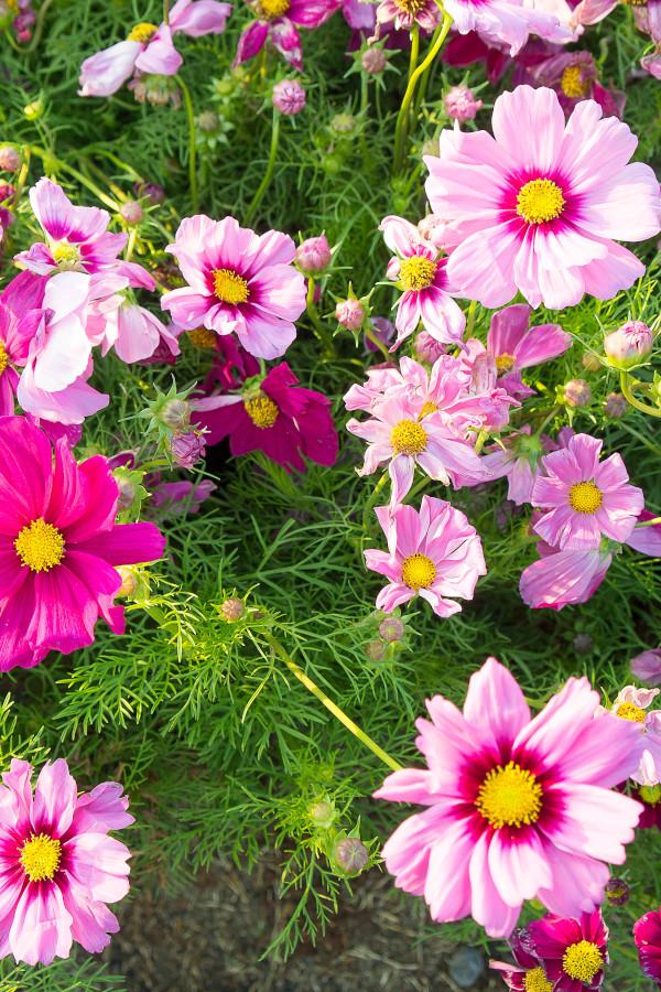 cosmos flowers blooming.