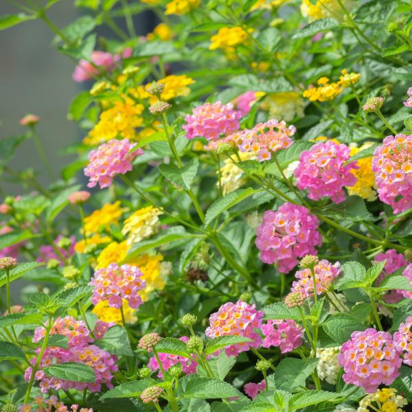 lantana flower blooming in a summer garden.