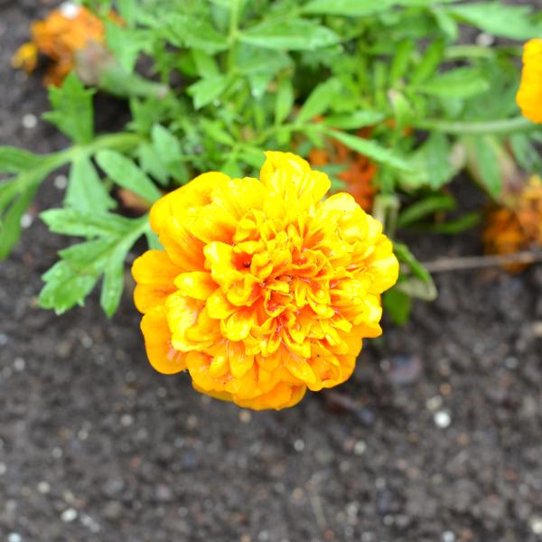 bright summer marigolds growing in a vegetable garden.