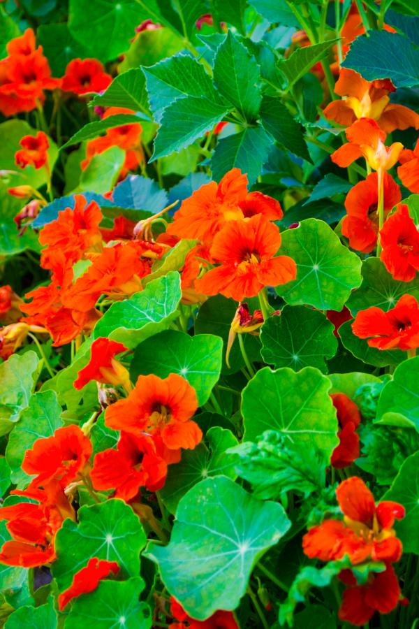 nasturtiums growing in a garden.