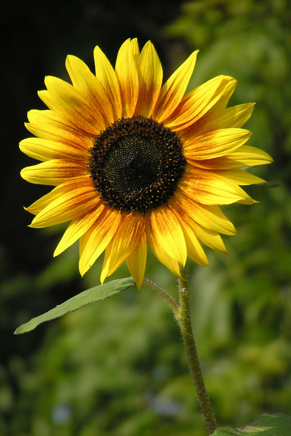 Sunflowers perfect for planting in a summer garden.
