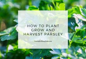 Planting growing harvesting parsley main image with text overlay.