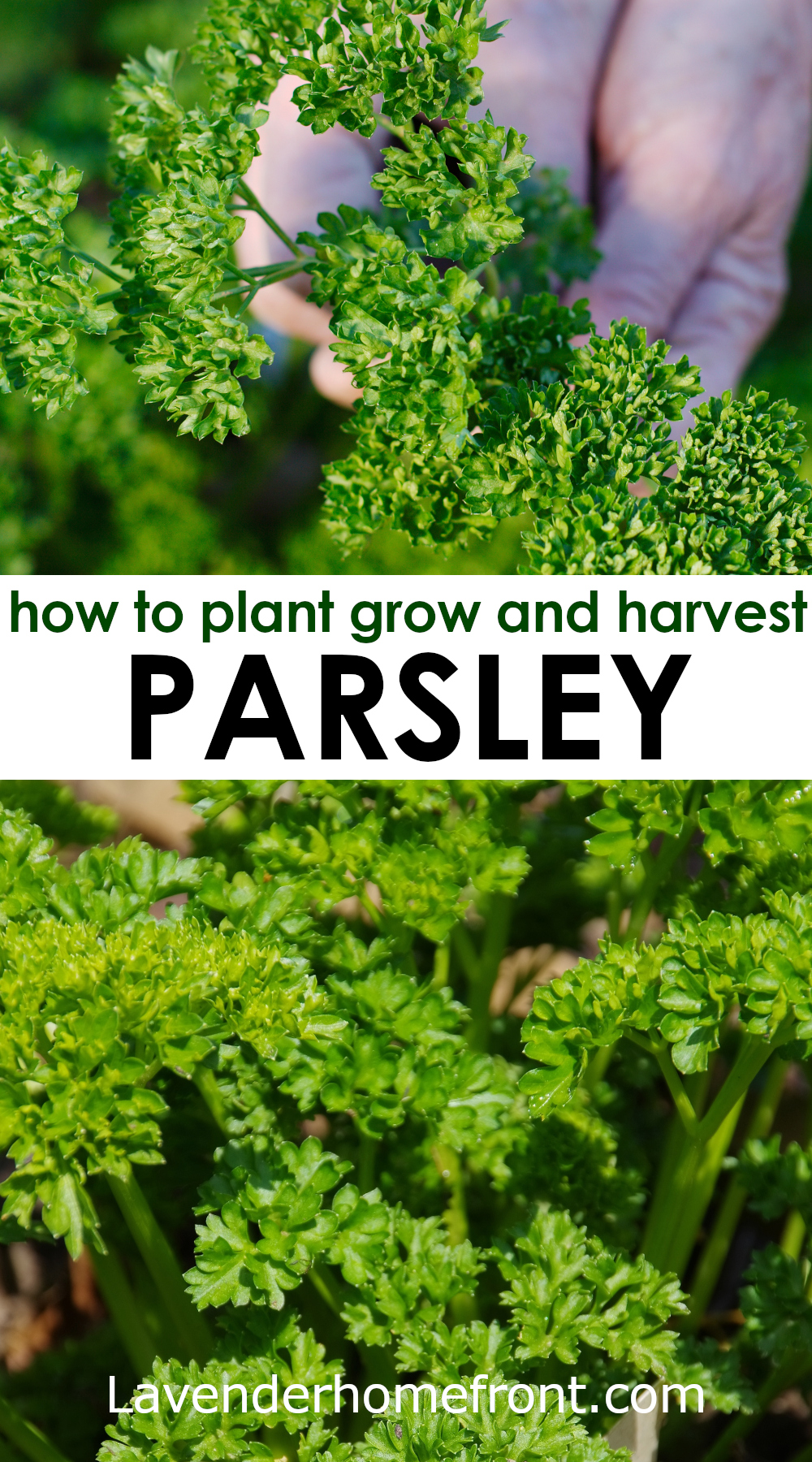 How to plant grow and harvest parsley pinnable image with text overlay.