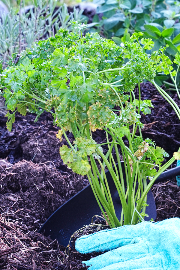 How to plant parsley in your garden bed.